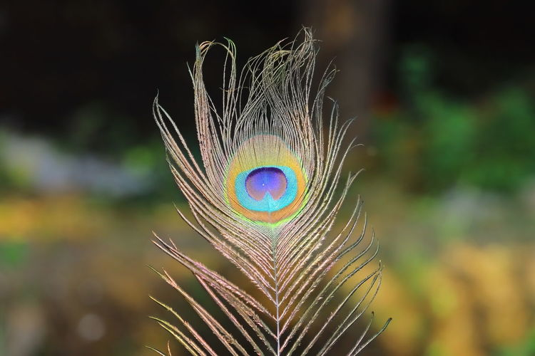 Close-up of peacock of feather eye spot