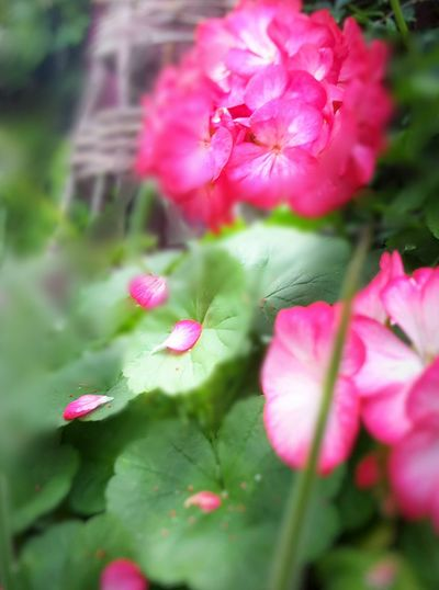 Pedal Flower Pink Flower Soft Beauty Enjoy Nature's Beauty I Feel You Eye4photography  Beautifully Organized Enjoy The New Normal