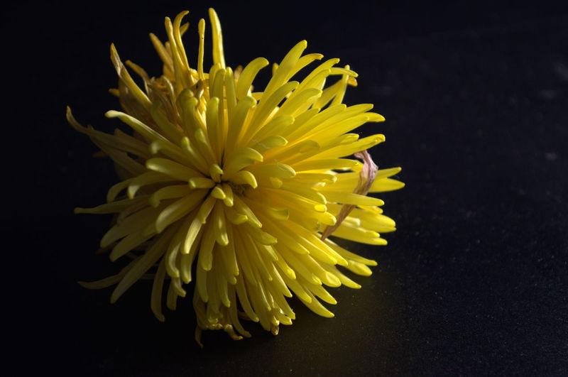 Black Low Light Botany Flower Fragility Freshness Growth Petal Shadows & Light Softness