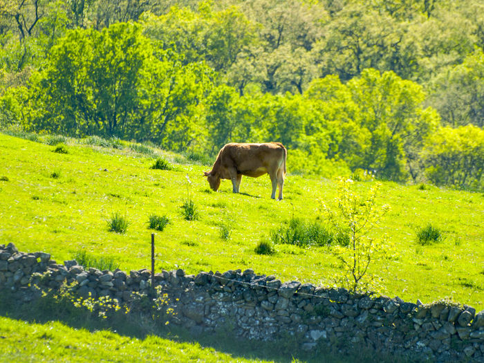 Animal Themes Cattle Countryside Cow Cows Cows In A Field Day Domestic Animals Farm Animals Farm Life Field Full Length Grass Grazing Green Green Color Mammal Meadow Nature No People Outdoors Pasture, Paddock, Grassland, Pastureland Spring Springtime Tree