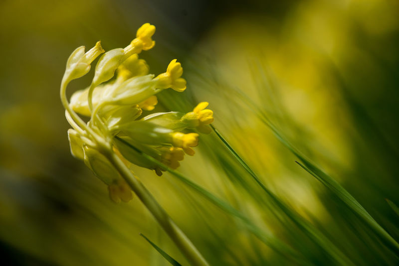 yellow field flower nature background Beauty In Nature Blooming Close-up Day Delicate Expression Field Background Flower Fragility Freshness Garden Gardening Green Color Growth Meadow Flowers Nature Nature Backgrounds No People Nostalgia Outdoors Petal Plant Wind Yellow Yellow And Green