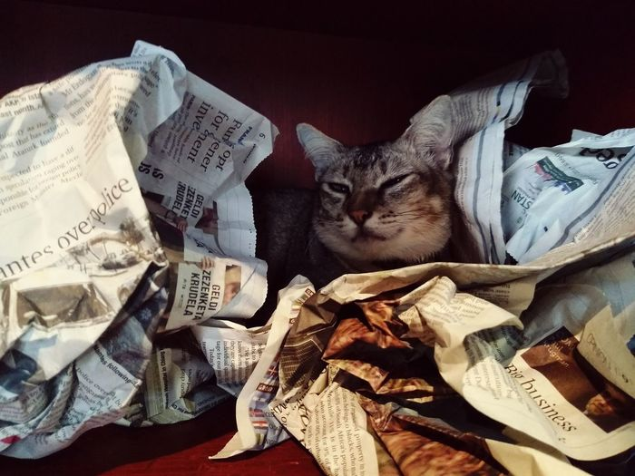Newpaper Pets Crumpled Paper Newspaper Domestic Cat Paper Currency Stock Market And Exchange Business Currency Leopard Finance Cat Feline Sleepy Yellow Eyes Home Animal Eye Stray Animal