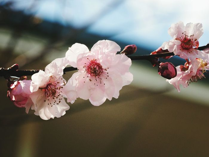 Close-up of pink flowers blooming on twig