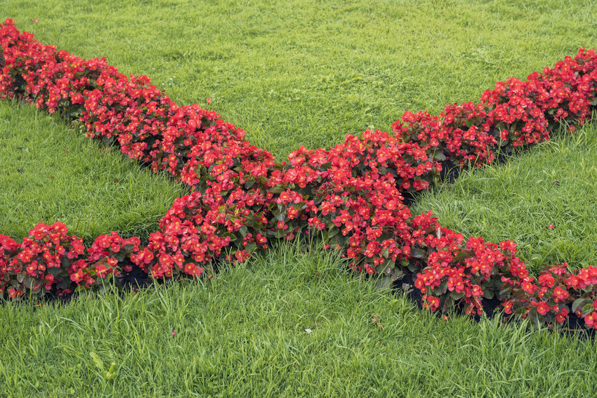 Begonia Flower Garden Flowers Gardening Beauty In Nature Begonia Blooming Blossom Day Field Flower Flowerbed Flowerbed Beauty Garden Garden Photography Grass Green Color Growth Landscape Lawn Nature No People Outdoors Park Red Summer