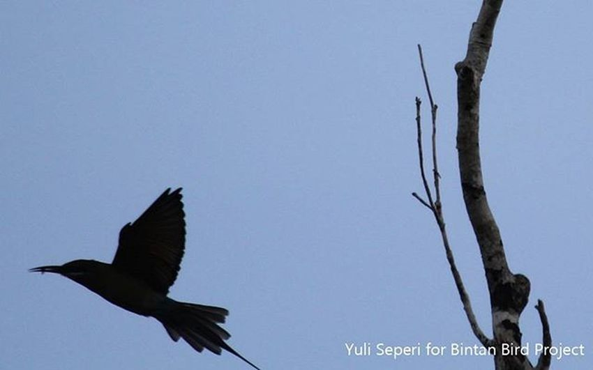 Merops Philippinus Bird Bintan  Documentary Dailylife 1000kata Pewartafotoindonesia Pfikepri