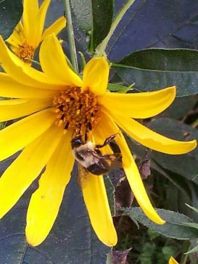 Close-up Bee 🐝