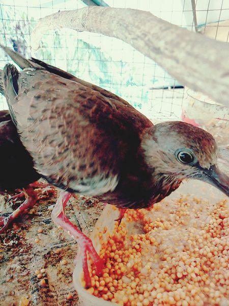 Meet Burung Merbok.. Tomok 😂