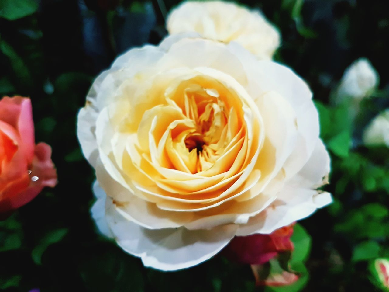 CLOSE-UP OF ROSE FLOWER AGAINST BLURRED BACKGROUND