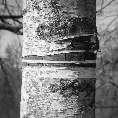 Bare Tree Blackandwhite Close-up Forest Lac De Malsaucy Texture Textured  Tree Trunk Trees Wood