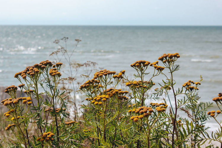 Latvia Latvija Liepaja Beach Beauty In Nature Day Flower Flowering Plant Focus On Foreground Growth Horizon Horizon Over Water Land Marram Grass Nature No People Outdoors Plant Scenics - Nature Sea Sky Tranquil Scene Tranquility Water
