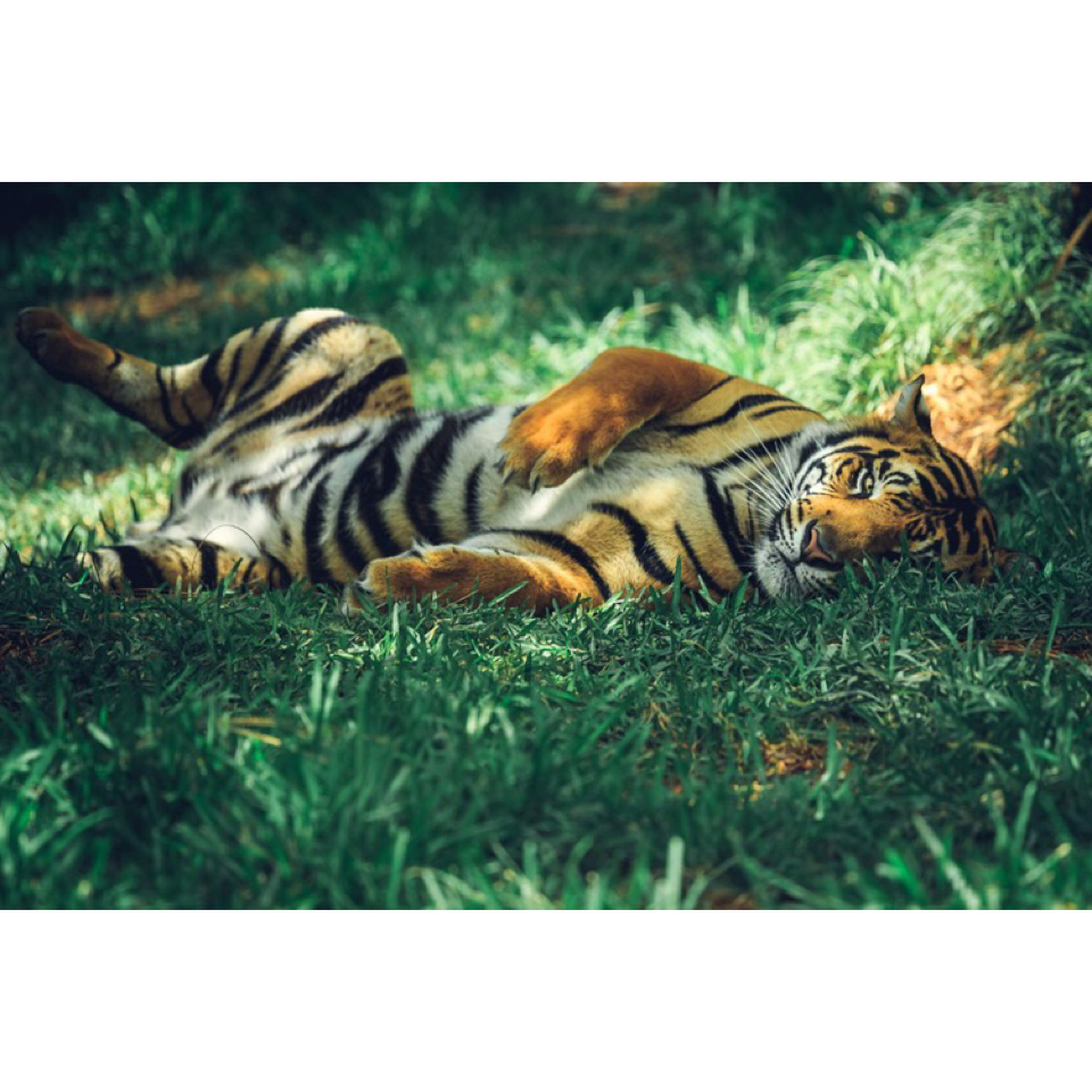 transfer print, animal themes, auto post production filter, grass, wildlife, animals in the wild, field, one animal, grassy, green color, mammal, two animals, nature, outdoors, day, togetherness, close-up, animal markings, full length, side view