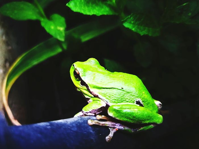 Nature Green Frog Green Frog Full Length Reptile Close-up Green Color Amphibian