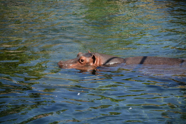 Hippopotamus swimming in river