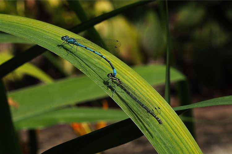 One Animal Animal Themes Insect Animals In The Wild Green Color Focus On Foreground Day Animal Wildlife Plant Damselfly Leaf Close-up Nature Outdoors Growth No People Damselflies Mating Damselfly Series