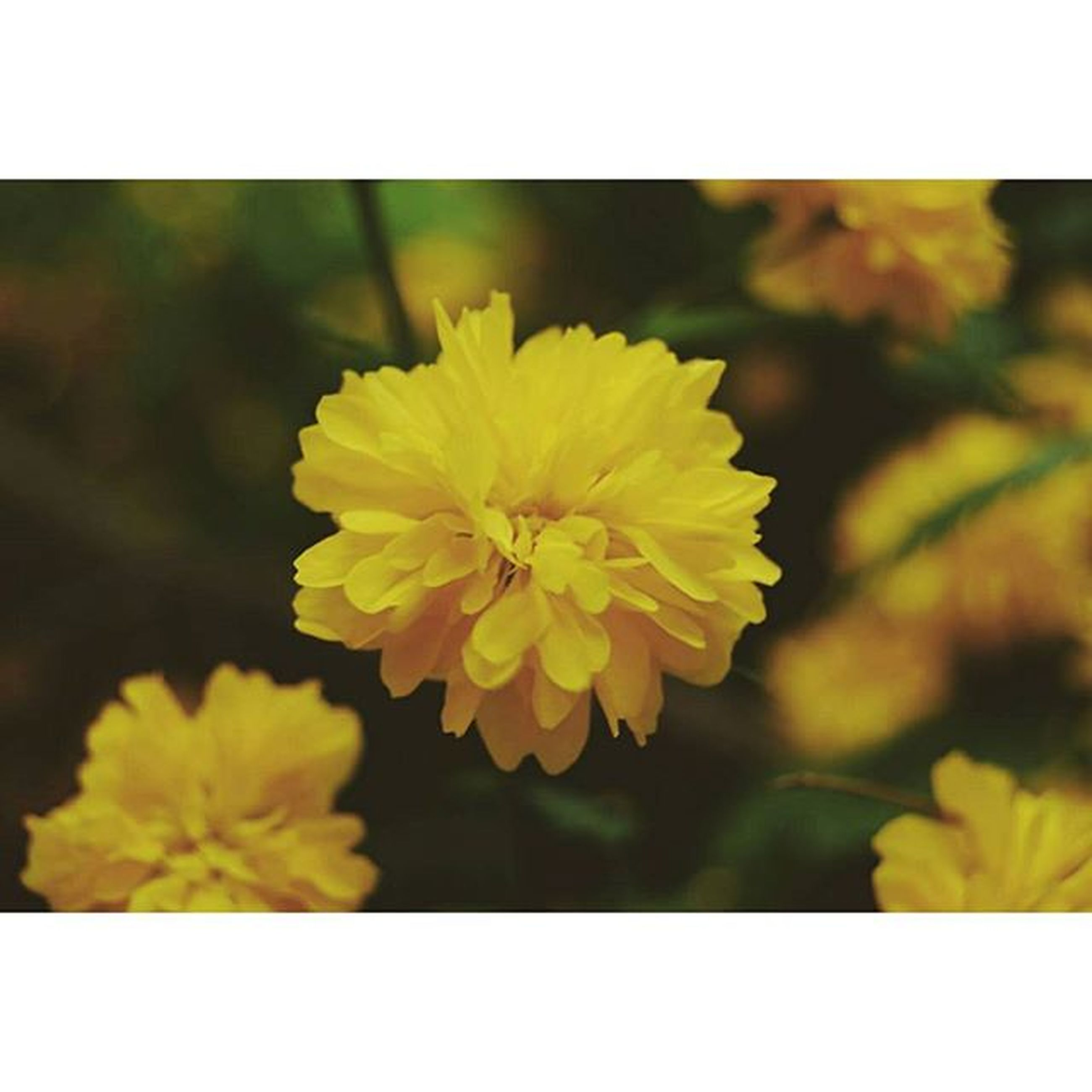 flower, transfer print, yellow, freshness, petal, fragility, flower head, growth, close-up, beauty in nature, auto post production filter, focus on foreground, nature, blooming, single flower, plant, in bloom, selective focus, blossom, outdoors