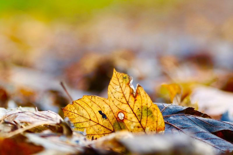 Plant Part Leaf Autumn Change Nature No People Close-up Dry Selective Focus Beauty In Nature Day Outdoors Yellow Fragility Tree Orange Color Maple Leaf Land Plant Vulnerability