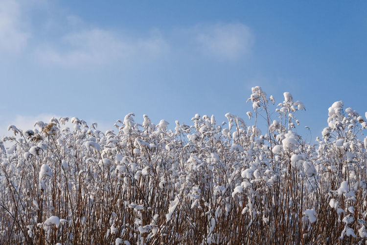 Low angle view of frozen plants on field against sky