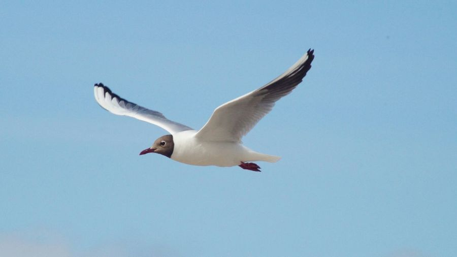 Low Angle View Of Black-Headed Gull Flying Against Clear Sky On Sunny Day