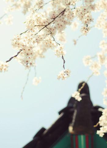 벚꽃 @현충원 Epuegraphic