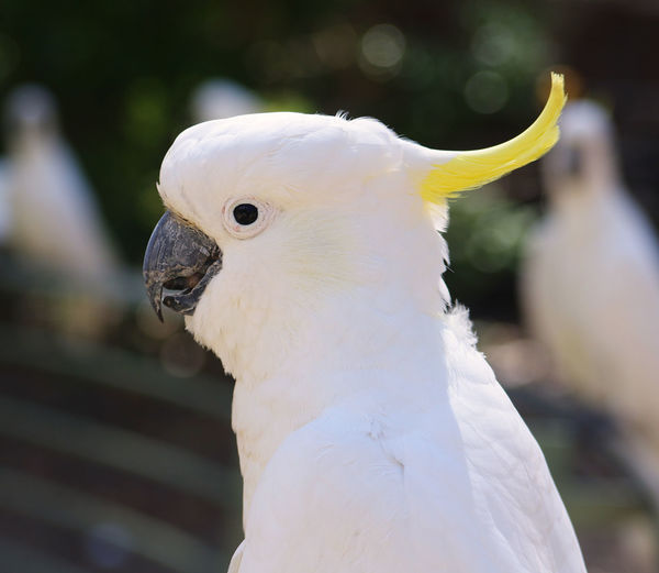 Close-up of cockatoo perching outdoors