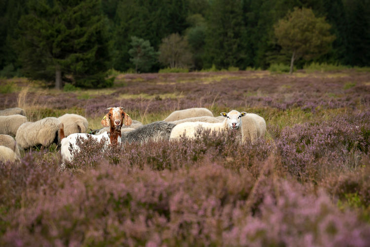 Grazing sheep bentheimer sheep in niedersfelder heather eat the grasses and get space for heather