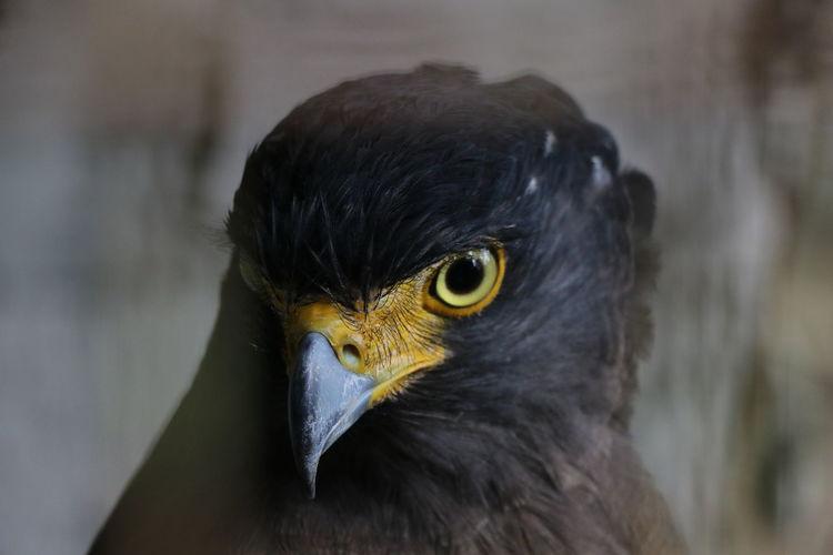 Animal Themes Animal Wildlife Animals In The Wild Beak Bird Bird Of Prey Close-up Day Hawk Nature No People One Animal Outdoors