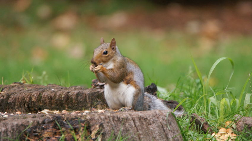 Squirrel Animal Animal Themes Animal Wildlife Animals In The Wild Bark Day Eating Focus On Foreground Full Length Grass Mammal Nature No People One Animal Outdoors Plant Profile View Rodent Side View Sitting