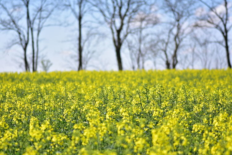 Plant Yellow Flower Field Growth Beauty In Nature Tree Land Landscape Flowering Plant Agriculture Rural Scene Nature Day Selective Focus Freshness Tranquility Oilseed Rape No People Abundance Outdoors Springtime