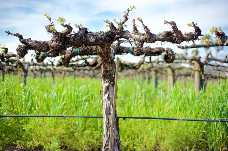 Vineyard in the Spring Close-up Field Focus On Foreground Grape Vine Foliage Grape Vine Twig Grass Growth Landscape Nature No People Outdoors Plant Rural Scene Sky Tranquil Scene Vineyard Colour Of Life