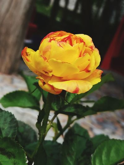 Yellow Flower Yellow Color Yellow Rose Rose - Flower Rosé