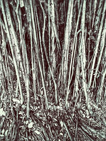 Root Roots Roots Of Tree Banyan Tree Roots Banyan Root Banyan Tree Banyan Tree Trunk Banyan Root Of Banyan Tree Root Of A Tree Root Of The Tree Root Of Tree Nature Nature Photography Nature Collection Beauty Of Nature