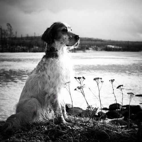 Blackandwhite Dog Black And White Winter Snow TheMinimals (less Edit Juxt Photography) Bw_dogs Bnw Noir Et Blanc English Setter All_shots AMPt_community