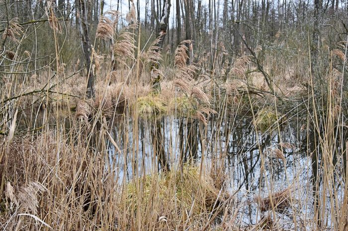 Bare Tree Beauty In Nature Day Forest Grass Growth Landscape Marsh Nature No People Outdoors Plant Reed - Grass Family Swamp Tree Water Wetland Wilderness Wilderness Area