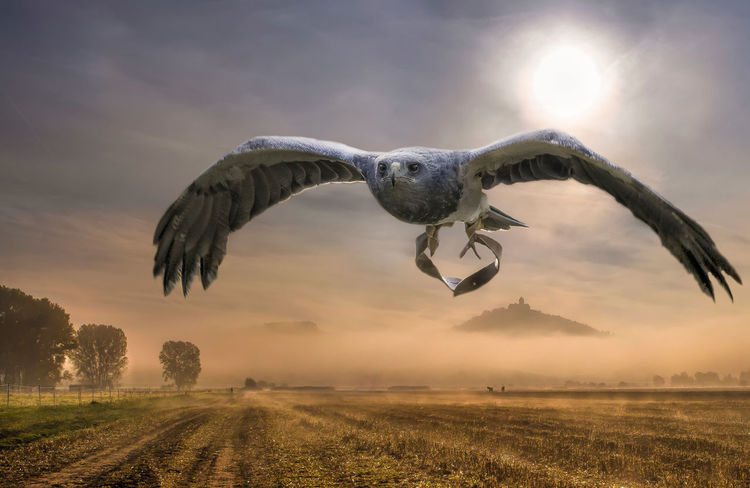 black-chested buzzard-eagle Black-chested Buzzard-eagle Falconry Animal Themes Animals In The Wild Beauty In Nature Bird Bird Of Prey Day Field Flying Landscape Mid-air Nature No People One Animal Outdoors Scenics Sky Spread Wings Sunlight Sunset Tree