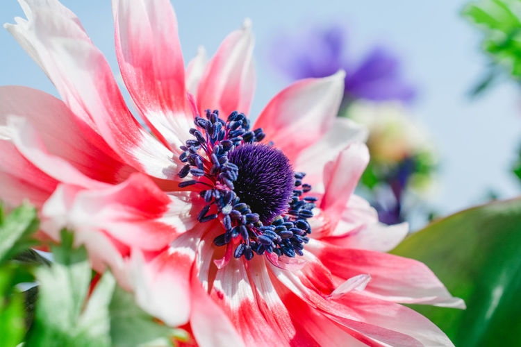 Anemones Flowers,Plants & Garden Nature Nature Collection Nature Photography Anemone Anemone Flower Beauty In Nature Bloom Blooming Blue Sky Close-up Flower Flower Collection Flower Head Flower Photography Flower Pollen Focus On Foreground Nature Petal Plant Pollen Spring Spring Flowers Springtime