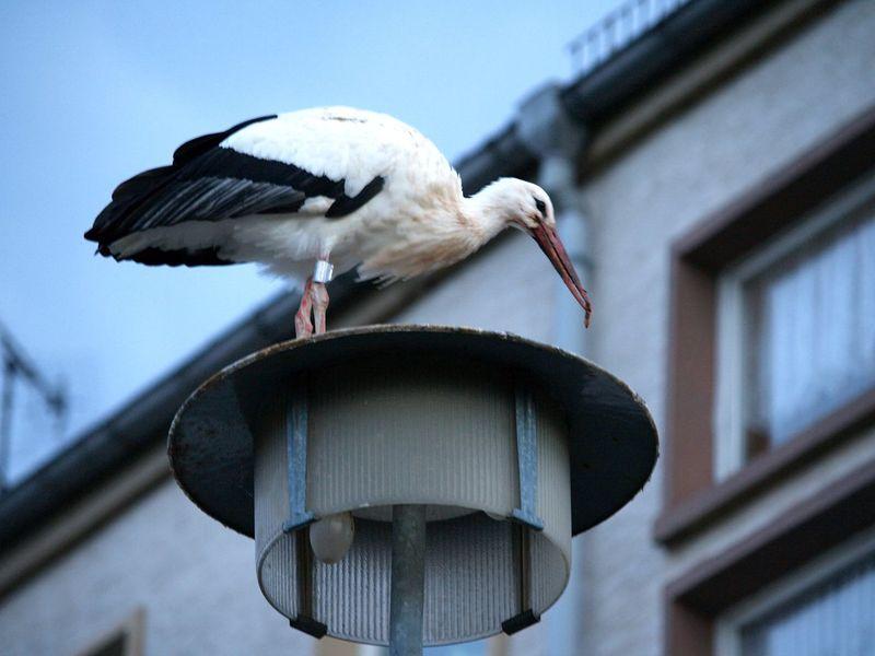 Animal Themes Animals In The Wild Bird Electric Lamp Focus On Foreground No People Storch Storchennest Stork Storks Störche Wildlife Zoology