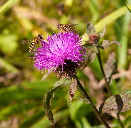 Bees Flower Insect Purple Scotland Sun Thistle Tomsphotos