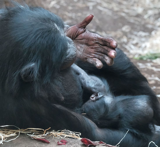Animal Animal Themes Animals In The Wild Black Color Caring Chimpanzee Chimpanzee's Baby Chimpanzee's Hand Close-up Day Love Mammal No People Outdoors Primate Protection Tenderness Live For The Story