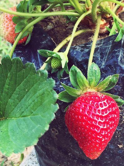 First Eyeem Photo Strawberry Fresh Strawberry Inthebag
