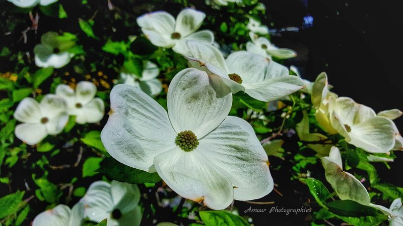 Dogwood Blooms (pt.2) . Amour Photographies Beautiful Explore More Outdoor Life Connecting To Earth Simple Photography Island Life Explore Canada  Flower Photography Canada Lake Cowichan Vancouver Island Beautiful British Columbia Flower Porn Earth Porn Up Close And Personal Flower Blooming Blossom Blooms Dogwood Blooms Dogwood Tree Dogwood Dogwood Blossom