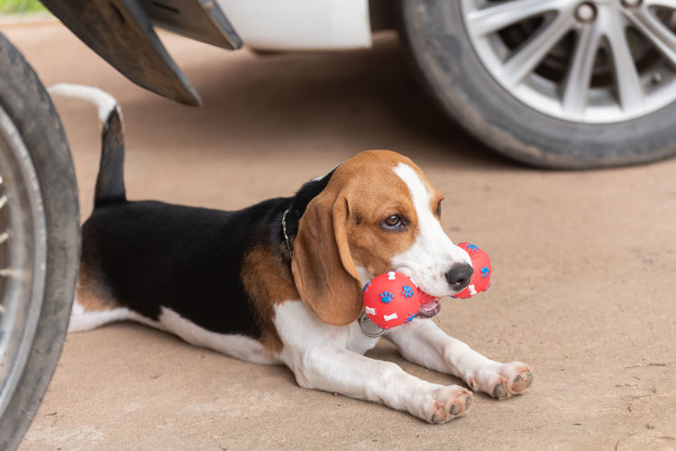 Dog carrying toy in mouth while sitting below car