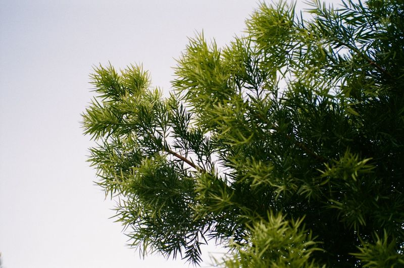 Plant Growth Tree Green Color No People Beauty In Nature Nature Day Low Angle View Branch Close-up Tranquility Sky Leaf Outdoors Pine Tree Freshness Plant Part Clear Sky Coniferous Tree Needle - Plant Part
