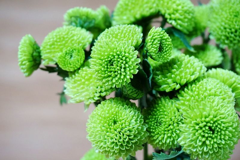 High angle view of green chrysanthemum flowers