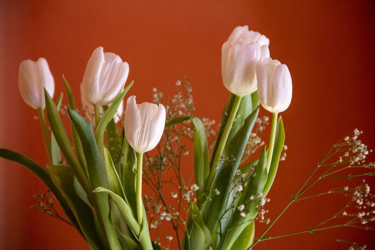 Close-up of white tulip flowers