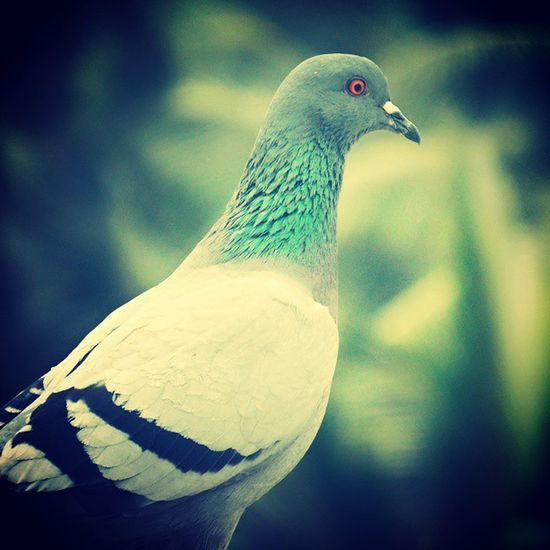 Early Morning Beautiful Pigeon Red Eyes Colour Pose Picoftheday Myterrace Myclicks Camclick Shaukbahutbadicheezhai