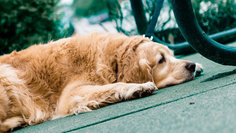 Dog Pets One Animal Lying Down Animal Themes Domestic Animals From My Point Of View EyeEm Best Shots Golden Retriever Mammal Sleeping Sitting Outdoors Day Retriever No People Close-up Beagle