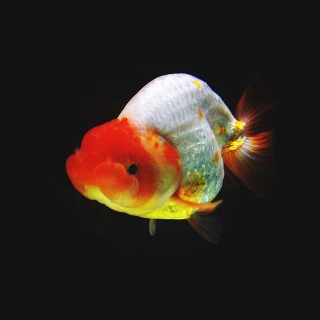 thai ranchu GoldFish!