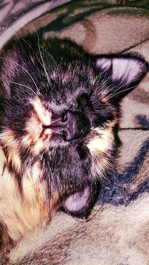 Pets Domestic Animals One Animal Animal Themes Mammal Close-up Macro Cat Lazy Sleepy Cat Eyes Shut Lazy Cat Dreaming Cat Lovers Cat Sleeping Furbaby Fur Furfamily Family Animal Lover My Cat Sleepy Sweet Dreams Asleep Sweet Kitty