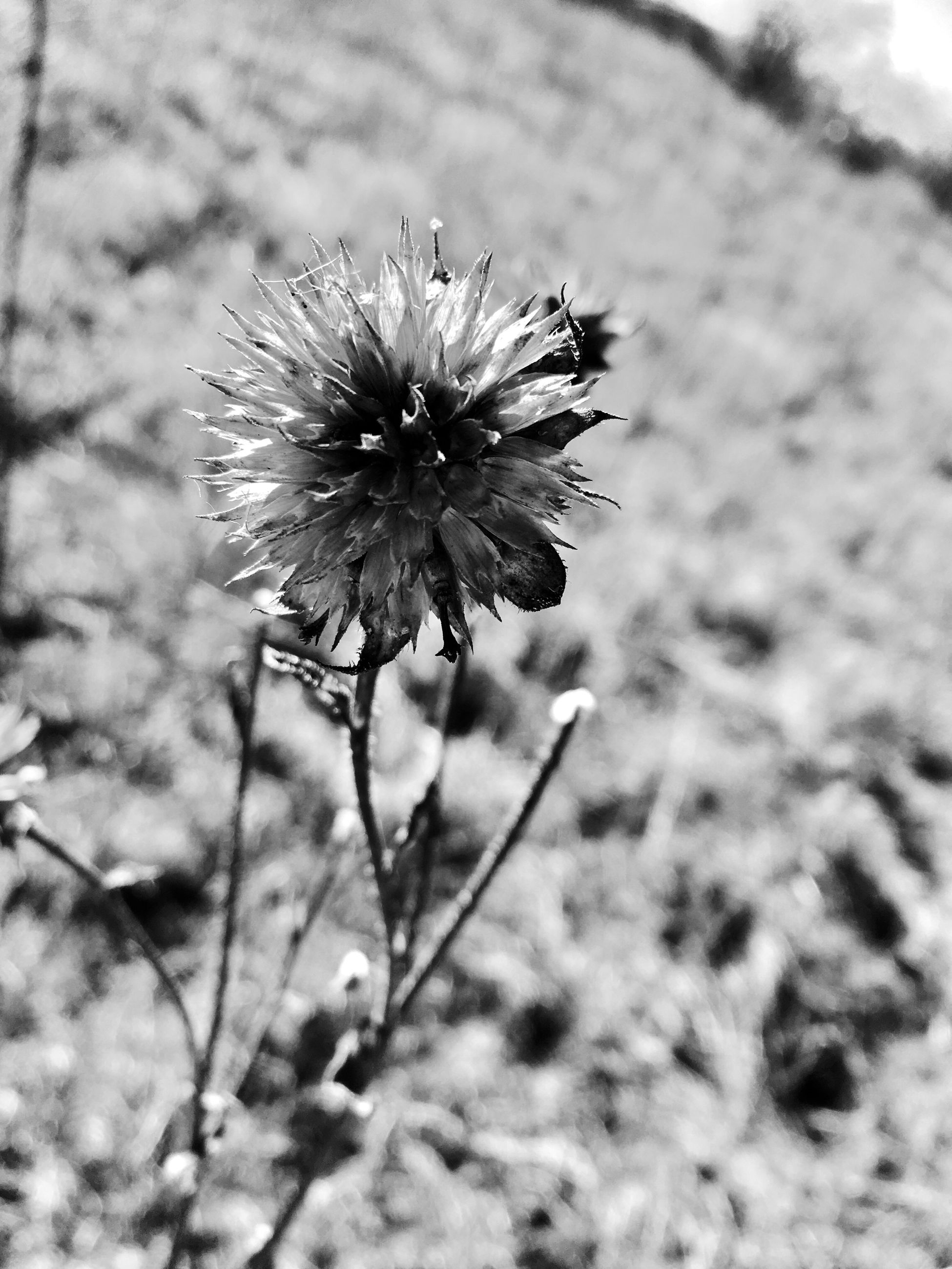flower, fragility, nature, growth, focus on foreground, flower head, beauty in nature, outdoors, plant, freshness, no people, day, blooming, thistle, close-up, insect