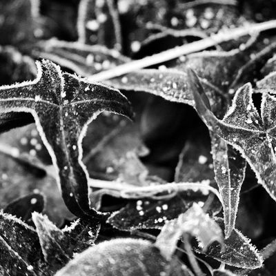 Some frosty leafs in Winter